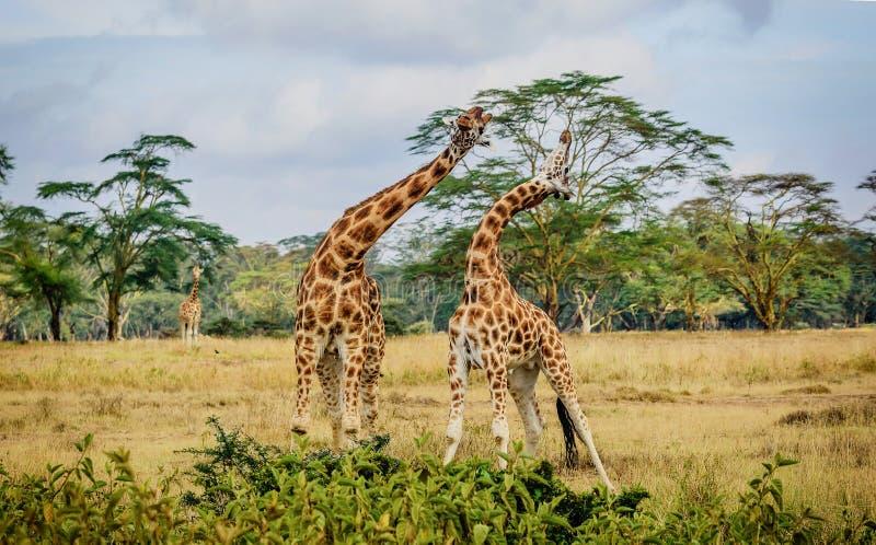 Pares de la jirafa que abrazan con uno a en Kenia, África imágenes de archivo libres de regalías
