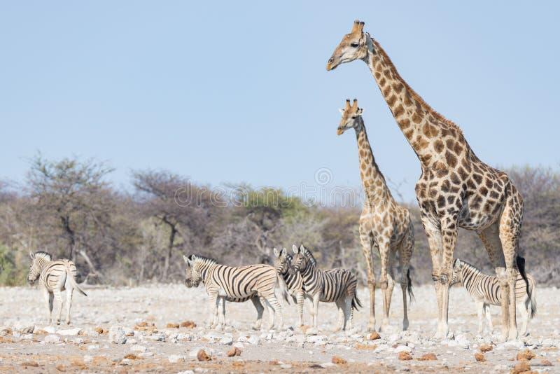 Pares de la jirafa que caminan en el arbusto en la cacerola del desierto, luz del día Safari en el parque nacional de Etosha, el  fotografía de archivo