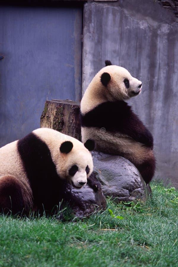 Pares de la panda gigante foto de archivo