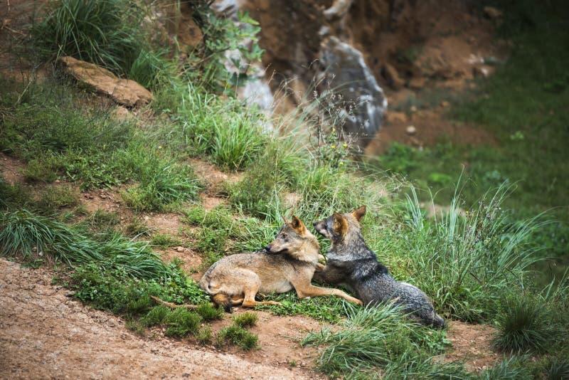 Pares de la reclinación ibérica de los lobos foto de archivo