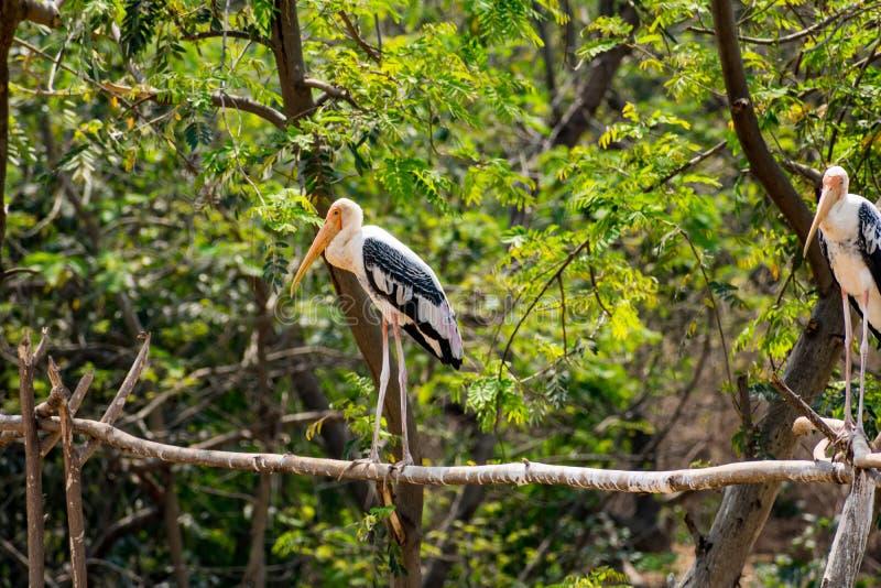 Pares de las cigüeñas pintadas que se colocan en el árbol en el parque zoológico que parece impresionante fotos de archivo