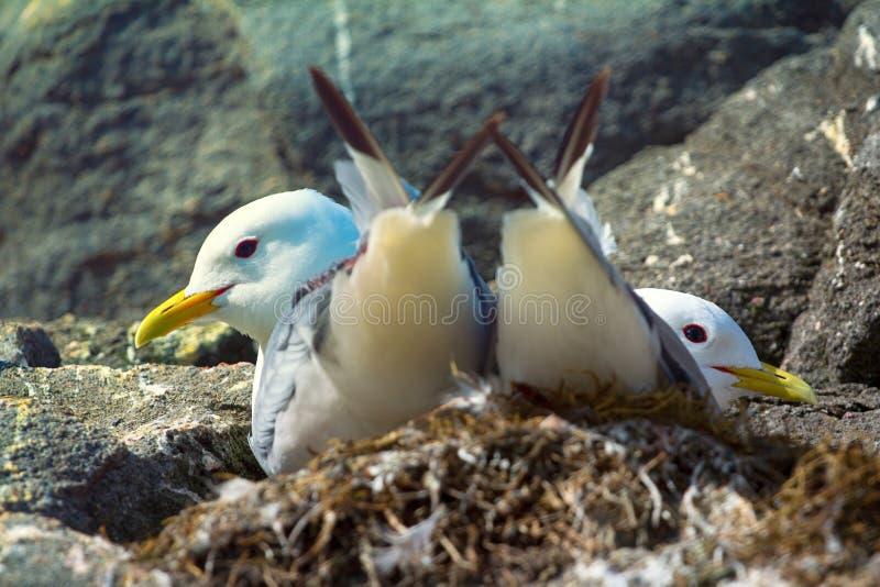 Pares de las gaviotas de las gaviotas establecidos en jerarquía fotos de archivo libres de regalías
