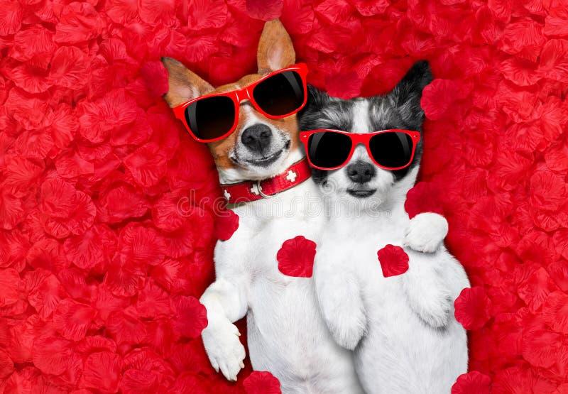 Pares de las tarjetas del día de San Valentín de perros en amor foto de archivo libre de regalías