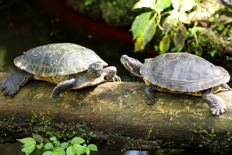 Pares de las tortugas imagenes de archivo