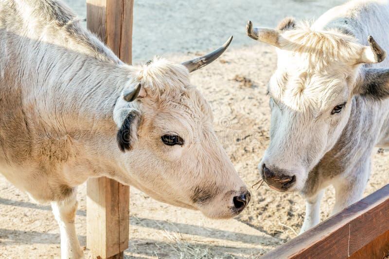 Pares de las vacas blancas que se colocan en la yarda del ganado en la granja imagen de archivo libre de regalías