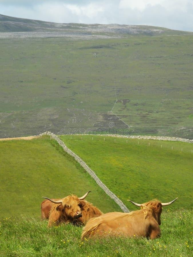 Pares de las vacas del escocés de la montaña imagen de archivo libre de regalías