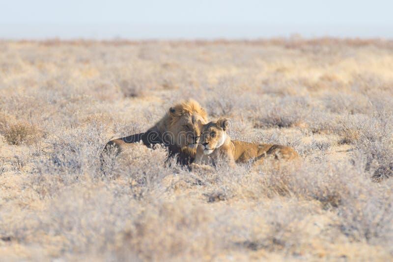 Pares de leões que encontram-se para baixo na terra no arbusto Safari no parque nacional de Etosha, atração turística principal d foto de stock royalty free