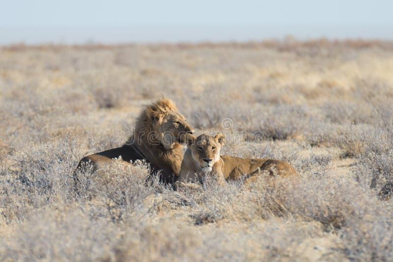 Pares de leões que encontram-se para baixo na terra no arbusto Safari no parque nacional de Etosha, atração turística principal d fotos de stock