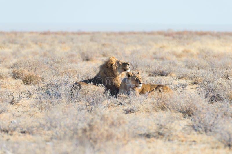 Pares de leões que encontram-se para baixo na terra no arbusto Safari no parque nacional de Etosha, atração turística principal d imagens de stock