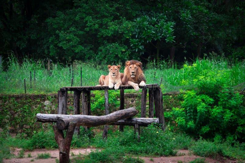 Pares de leones en parque zoológico imagen de archivo