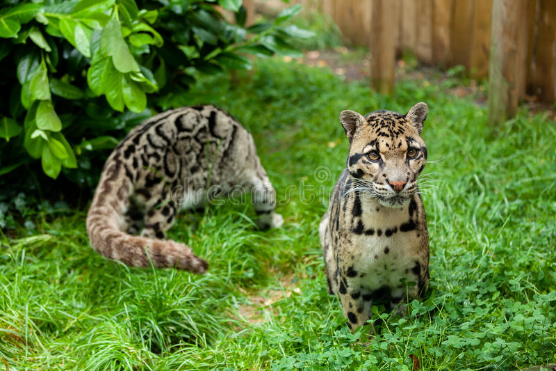 Pares de leopardos nublados foto de archivo libre de regalías