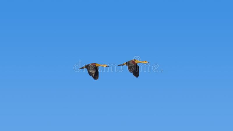 Pares de Lesser Whistling Ducks In Flying no céu azul foto de stock royalty free