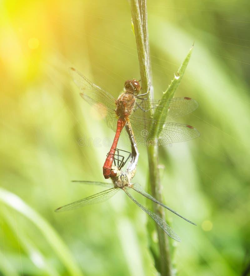 Pares de libélulas com raios do sol imagem de stock