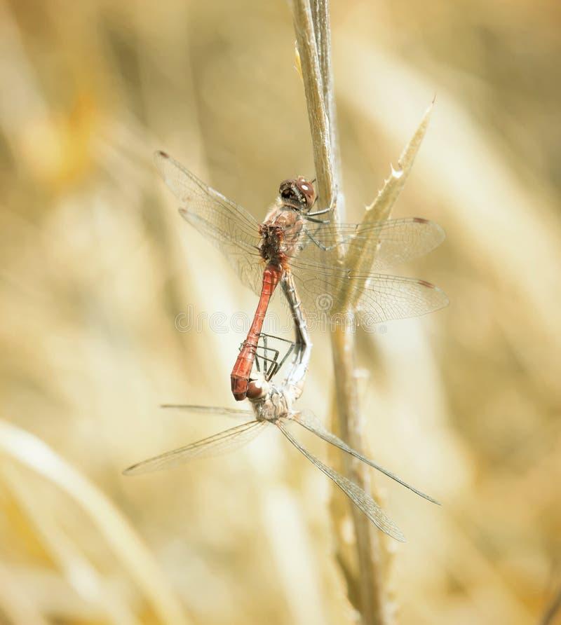 Pares de libélulas, filtro do vintage foto de stock