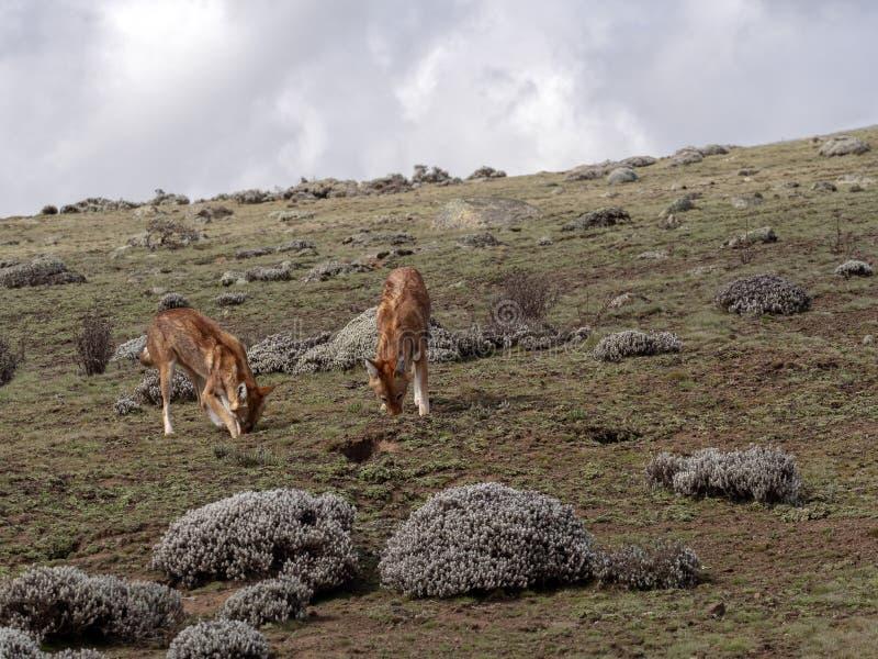 Pares de lobo etíope, simensis del Canis, cazando la Topo-rata africana de búsqueda arrogante, meseta de Sanetti, parque nacional imagen de archivo libre de regalías