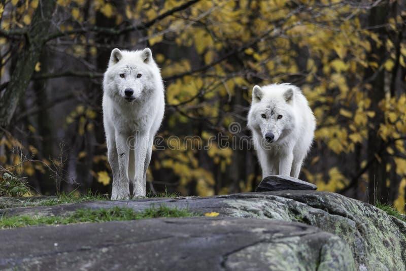 Pares de lobos árticos em uma queda, ambiente da floresta imagem de stock royalty free