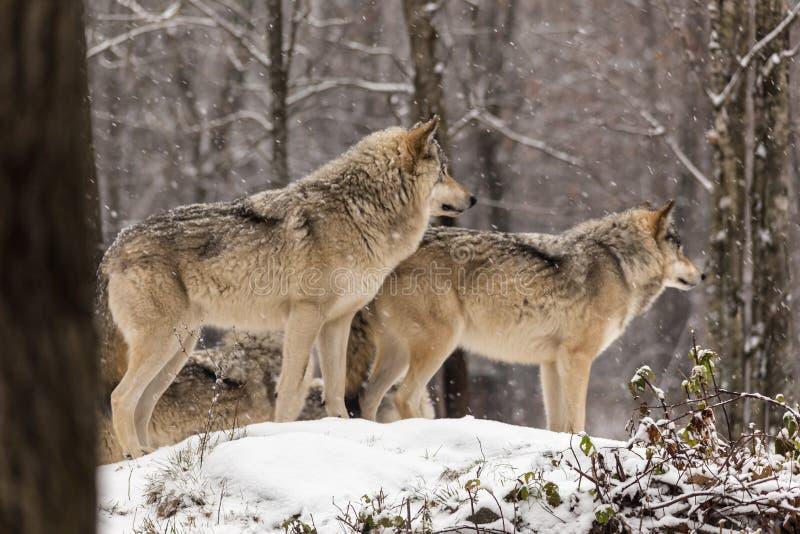 Pares de lobos de madeira em um ambiente do inverno foto de stock