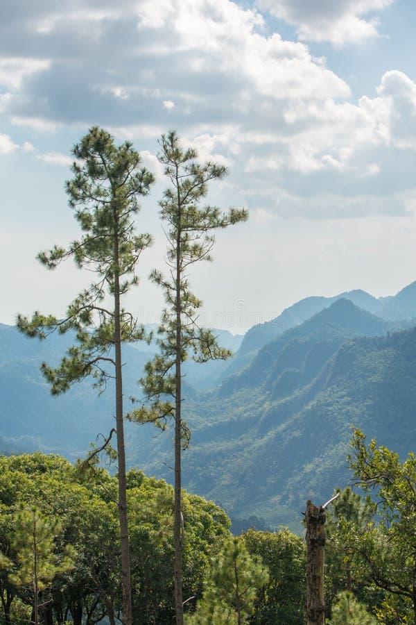 Pares de los árboles de pino altos en la alta montaña imagen de archivo libre de regalías