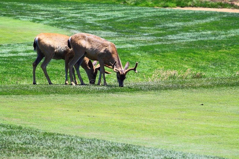 Download Pares de los ciervos imagen de archivo. Imagen de ambiental - 41911817