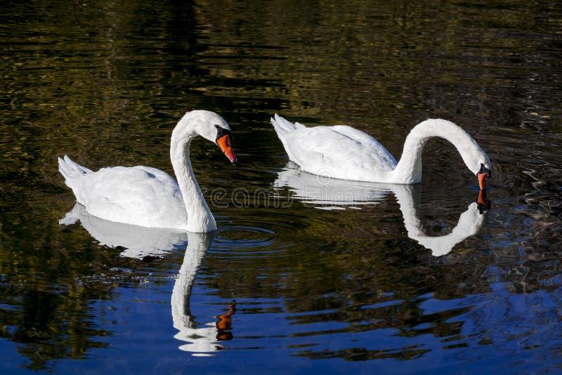 Pares de los cisnes blancos fotografía de archivo libre de regalías