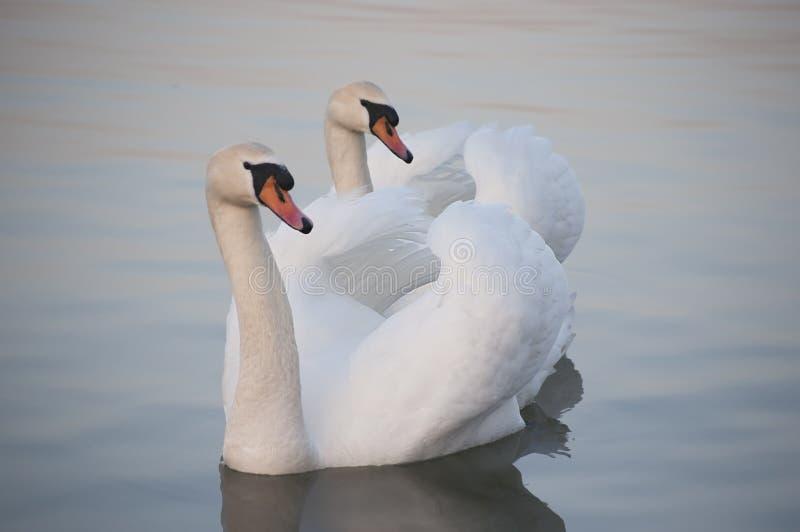 Pares de los cisnes blancos foto de archivo