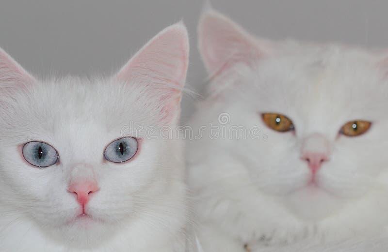 Pares de los gatos del angora imágenes de archivo libres de regalías