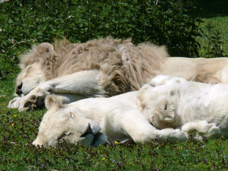 Pares de los leones blancos imagenes de archivo