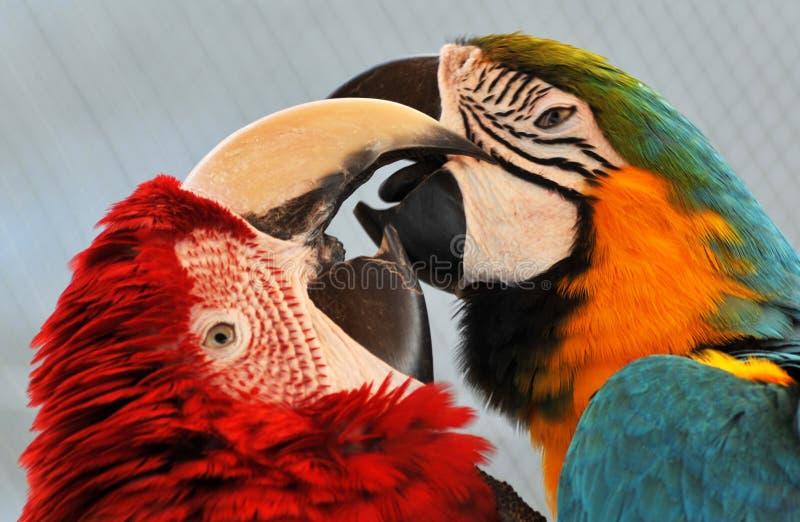 Pares de los Macaws imagen de archivo libre de regalías