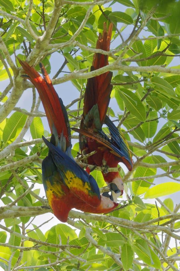 Pares de los Macaws del escarlata - Ara Macao - parque nacional de Corcovado, Costa Rica imagen de archivo
