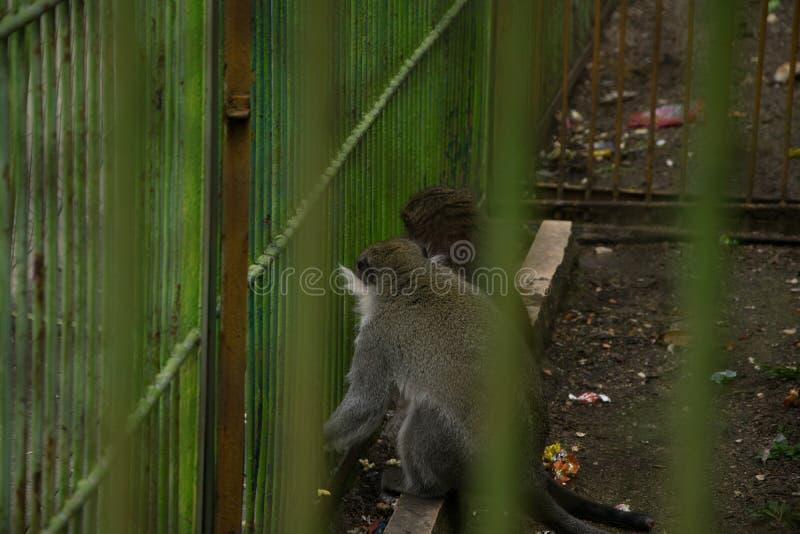 Pares de los monos de Gabón en una jaula imagen de archivo libre de regalías