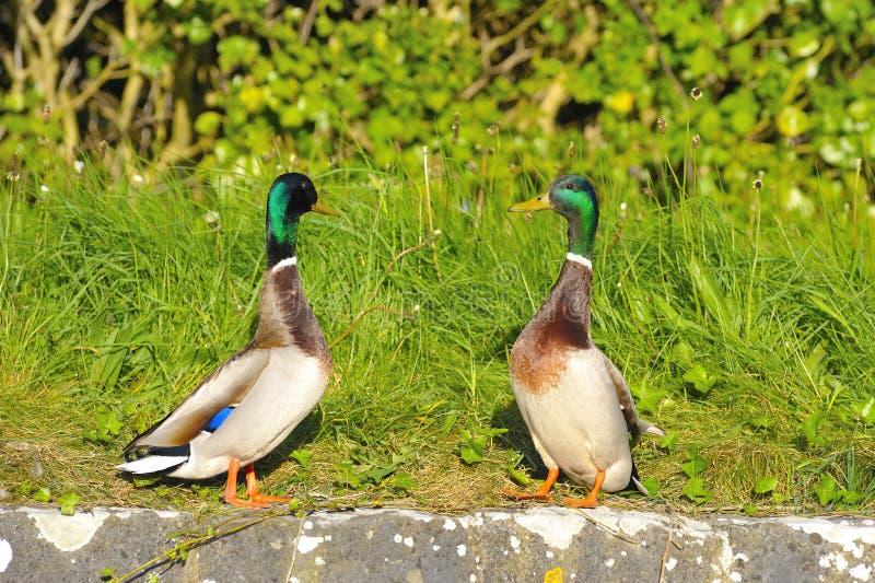 Pares de los patos del pato silvestre foto de archivo libre de regalías