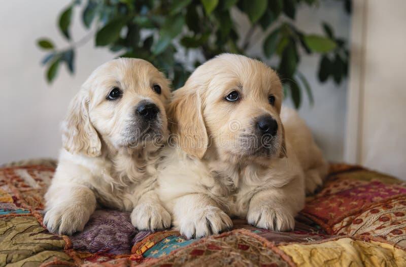 Pares de los perritos lindos del golden retriever que mienten abajo retrato imágenes de archivo libres de regalías