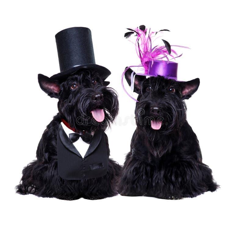 Pares de los terrieres escoceses que llevan los sombreros fotos de archivo libres de regalías