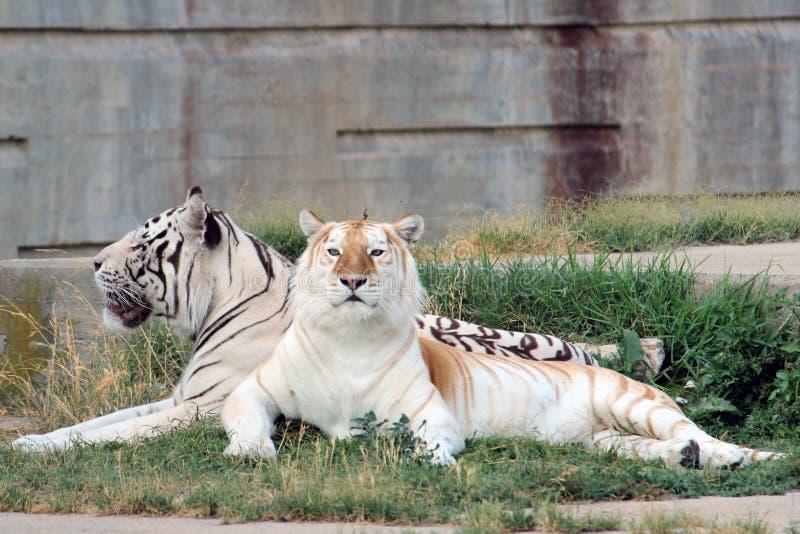 Pares de los tigres de Bengala imagen de archivo