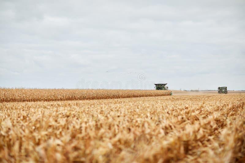 Pares de máquinas segadoras que cosechan el maíz del otoño imagenes de archivo