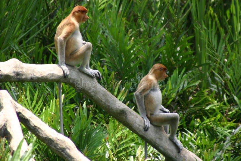 Pares de macacos foto de stock