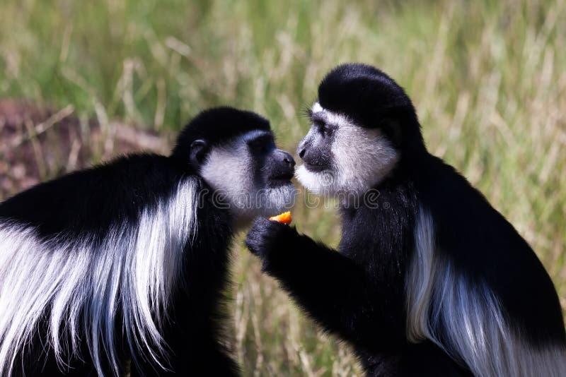 Pares de macacos no jardim zoológico foto de stock