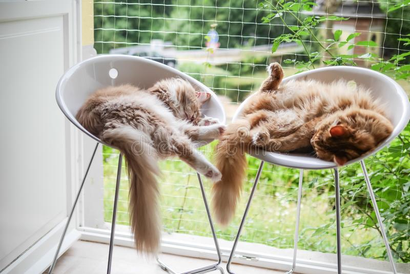 Pares de Maine Coon Cats Stretching em cadeiras altas fotos de stock