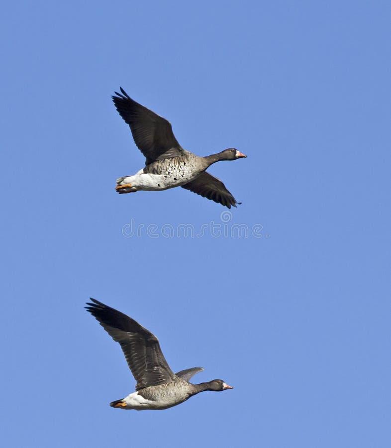 Pares de mayor volar de pecho blanco de los gansos fotografía de archivo libre de regalías