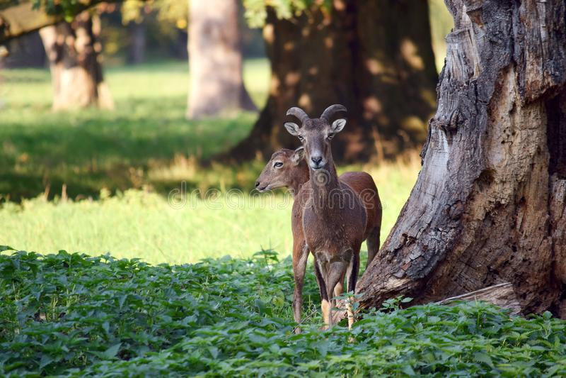 Pares de Mouflons en el bosque foto de archivo libre de regalías