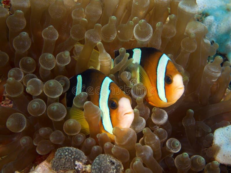 Pares de Nemo fotos de archivo libres de regalías