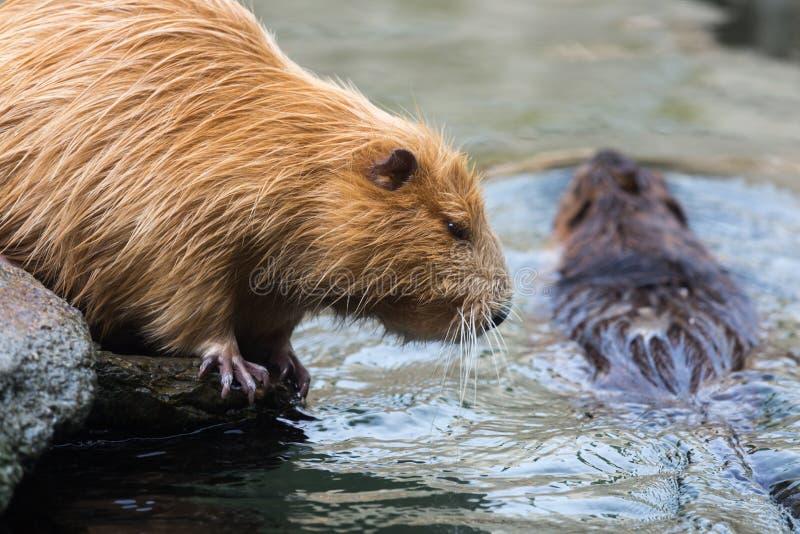 Pares de nutrias & de x28; Rats& x29 do castor dos coypus do Myocastor aka; , sentando-se e nadando na água fotos de stock