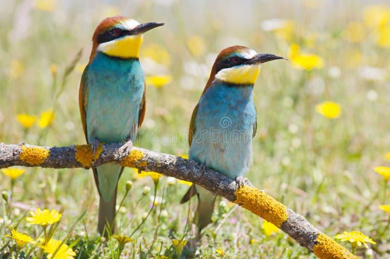 Pares de pássaros fotografia de stock royalty free