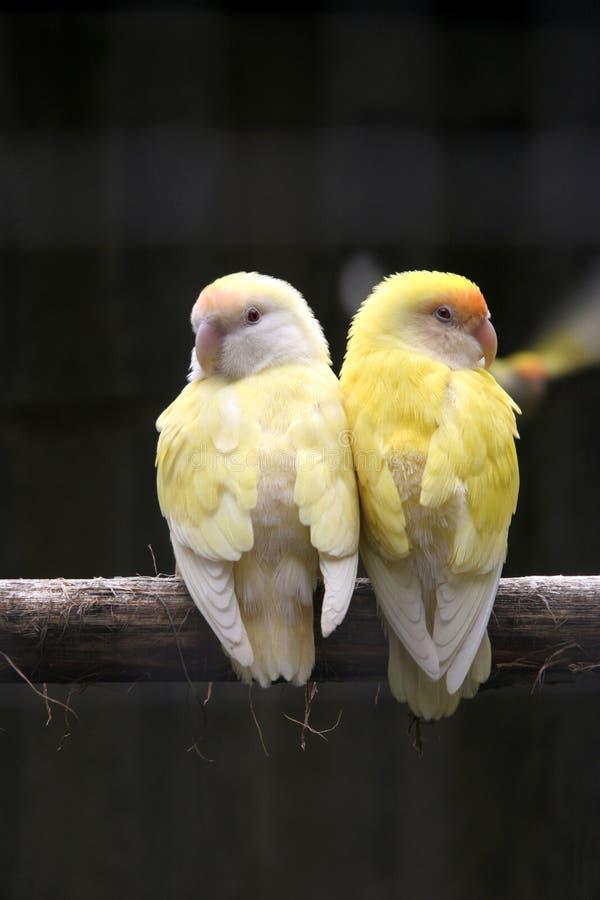 Pares de pássaros amarelos foto de stock royalty free