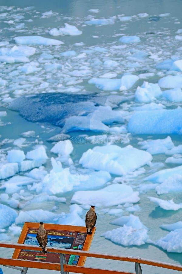 Pares de pássaros com crista do sul do Caracara que empoleiram-se na placa da informação de Perito Moreno Glacier, Argentina fotos de stock