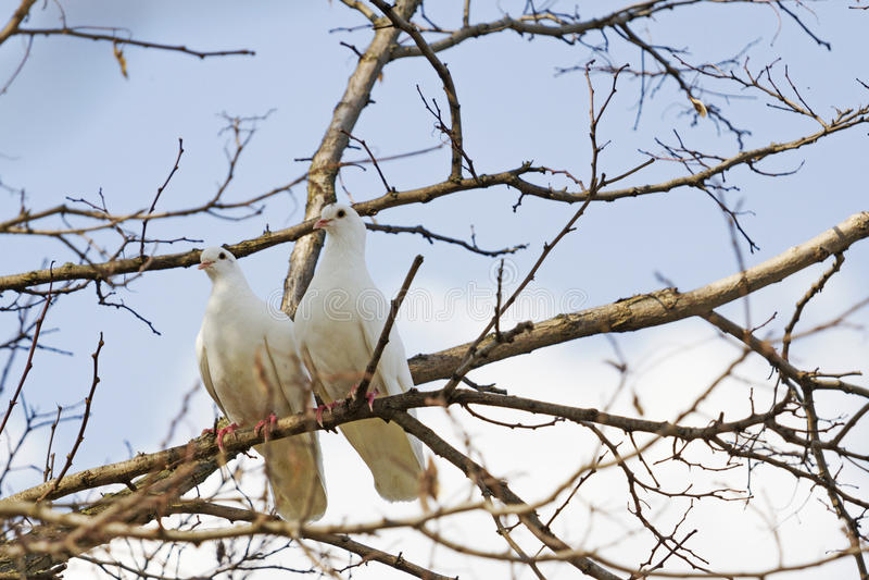 Pares de palomas blancas fotos de archivo