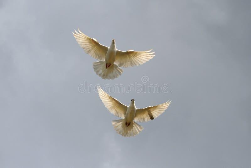 Pares de palomas blancas en el gris del cielo imagenes de archivo
