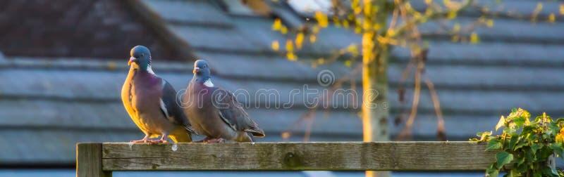 Pares de palomas de madera comunes que se sientan uno al lado del otro, pájaros comunes de Europa imágenes de archivo libres de regalías
