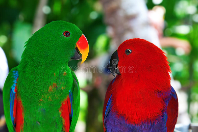 Pares de papagaios do lori fotos de stock royalty free