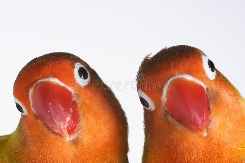 Pares de papagaios pequenos imagens de stock
